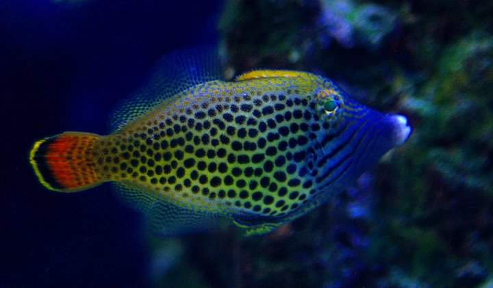 Leopard Skin Anyone? | Reefs.com